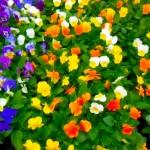 plants-viola